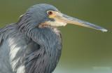 Witbuikreiger - Tricolored Heron - Egretta tricolor