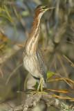 Groene Reiger - Green Heron - Butorides virescens