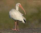 Witte Ibis - White Ibis - Eudocimus albus