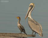 Bruine Pelikaan en Geoorde Aalscholver - Brown Pelican and Double-crested Cormorant
