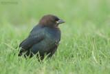 Bruinkop-koevogel - Brown-headed Cowbird - Molothrus ater