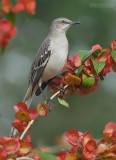 Spotlijster - Northern Mockingbird - Mimus polyglottos