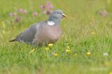 Houtduif - Woodpigeon - Columba polumbus