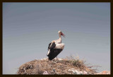 05 White Stork (Ciconia ciconia).jpg
