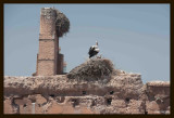 06 White Storks (Ciconia ciconia).jpg