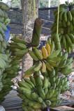 13 Bananas.jpg