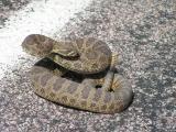 Nebraska - Angry rattlesnake