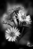 Variety of Aster? B+W