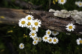 Daisies and Fungus