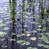 Lilies and Reeds in Little Long Pond