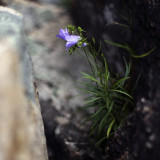 Little Blue Flowers in the Rocks Above Sand Beach #2