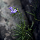 Little Blue Flowers in the Rocks Above Sand Beach #3