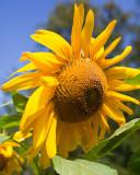 Sunflower 2009 #10