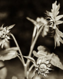 Sunflower 2009 #14
