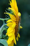 Sunflower 2009 #3