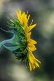 Sunflower 2009 #6