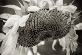 Sunflower 2009 IR #2