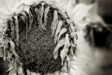 Sunflower 2009 IR #7