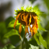Sunflower 2009 #19