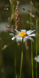 Lone Daisy in Grass