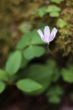 Northern Wood Sorrel #1