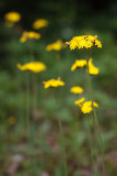 Yellow Hawkweed Diagonal
