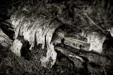 Decaying Birch Branch