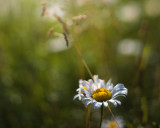 Daisy and Grass #1