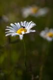 Daisy and Fly #1
