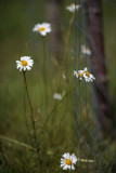 Daisies Hanging Out by the Garden Fence