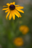 Black-eyed Susan #1