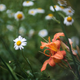 Day Lilies and Daisies #3
