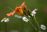 Day Lilies and Daisies #4