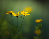 First Coreopsis 2010