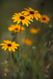 Black-eyed Susan #3