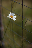Lone Daisy by the Garden Fence #2