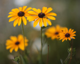 Black-eyed Susan #4