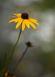 Black-eyed Susan #5
