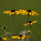 Black-eyed Susan #7