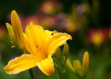 Yellow Lily with Lilies in Background