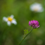 Clover and Daisies #1