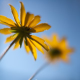 Black-eyed Susans from Below #1