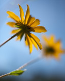 Black-eyed Susans from Below #2