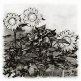 Solarized Sunflowers