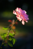 Backlit Rose #3