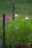Rainy Day Cosmos