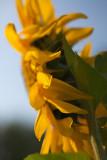 Sunflower Profile