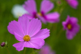 Mostly Pink Cosmos