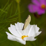White Cosmo and Pink-edged Sulphur Butterfly #2