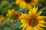 Foremost Sunflower #2